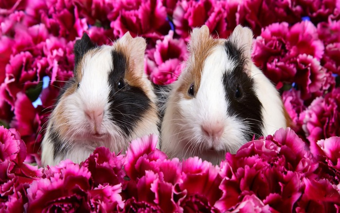 3085196_1152_Two_Guinea_Pigs (700x437, 123Kb)
