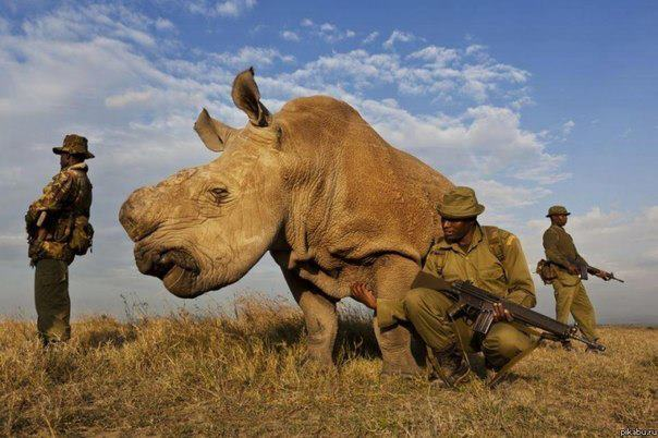 Белый носорог, которых осталось всего 4 в мире, бродит в окружении вооружённых телохранителей (604x402, 49Kb)