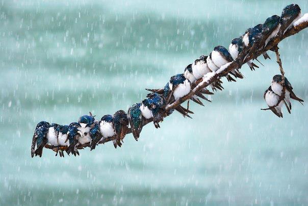 Речные ласточки (Tachycineta bicolor) жмутся друг к дружке, чтобы согреться во время нежданной весенней метели. Юкон, Канада (604x404, 35Kb)
