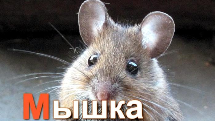 мышка (700x393, 102Kb)