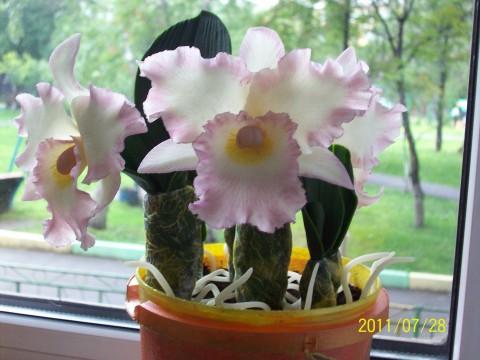 Орхидея (480x360, 48Kb)