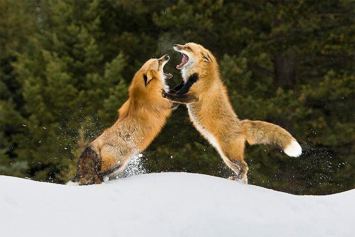 fox_20120409_00640_007 (700x500, 52Kb)