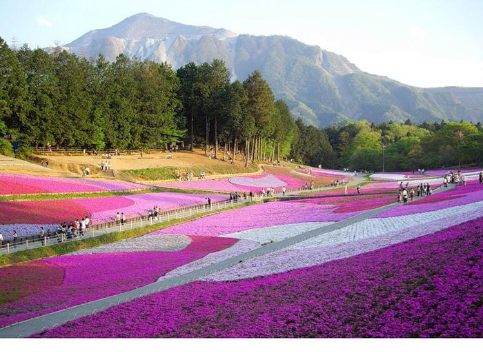 Поля шиловидных флоксов. Hitsujiyama Park, Chichibu, Япония