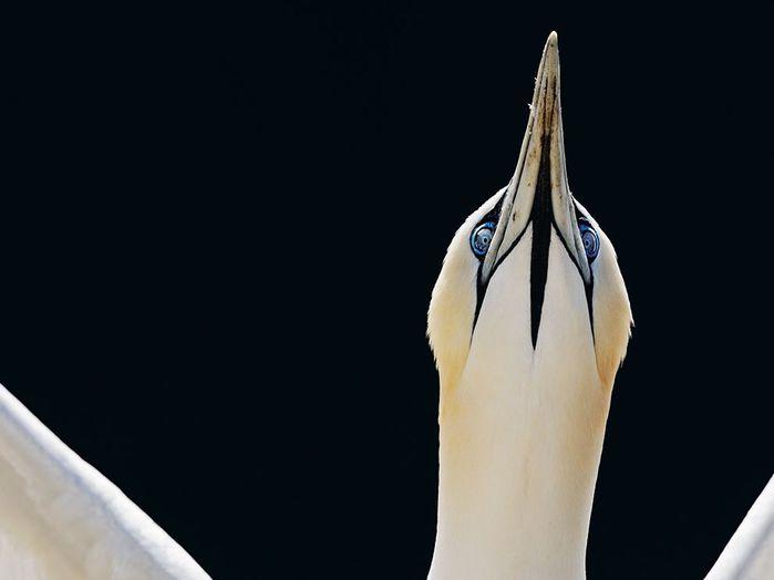 Олуш, птица отряда пеликанообразных
