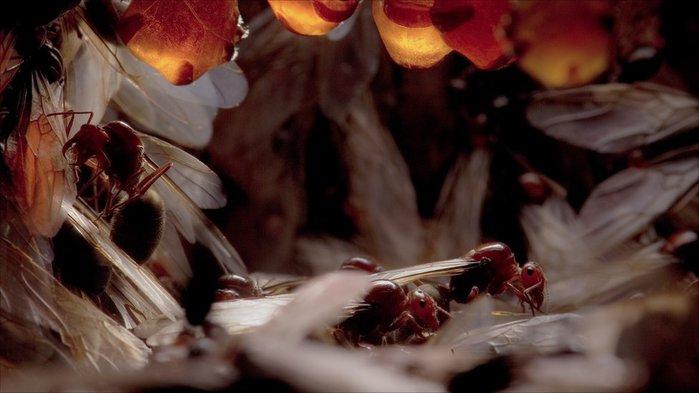 австралийские медовые муравьи фото 2 (700x393, 46Kb)