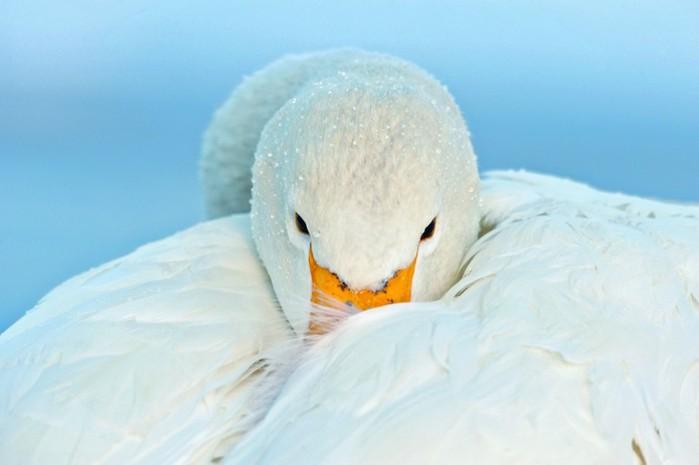 лебедь (700x465, 43Kb)