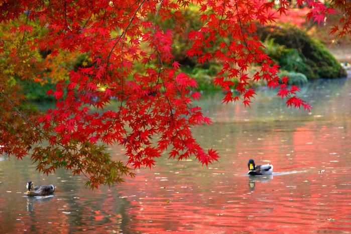 красивые фото осени киото япония 12 (700x465, 193Kb)