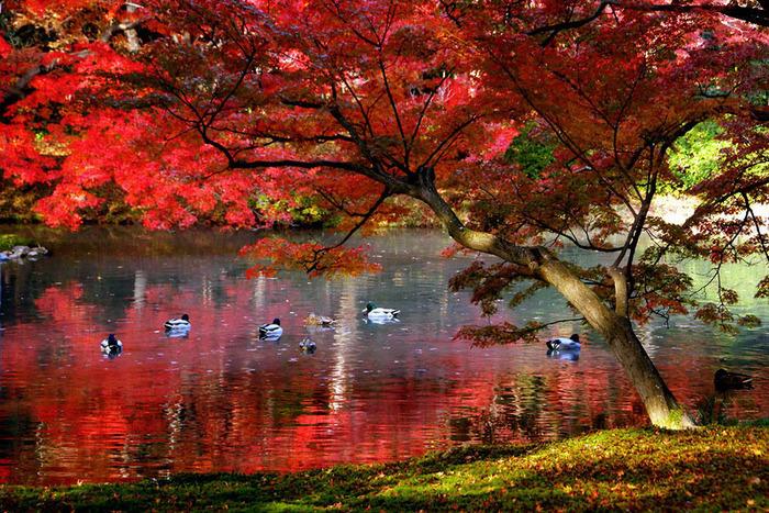 красивые фото осени киото япония 15 (700x467, 246Kb)