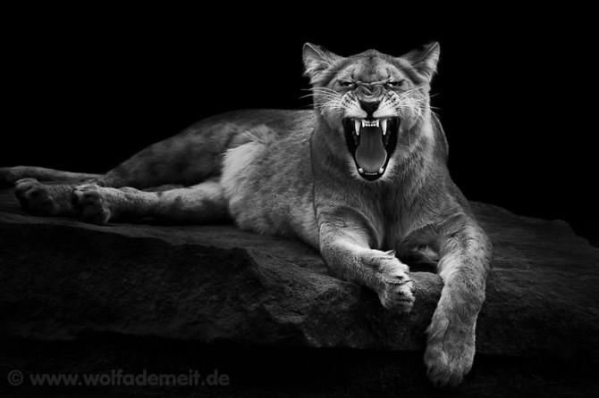 черно белые фото животных Wolf Ademeit (670x446, 48Kb)