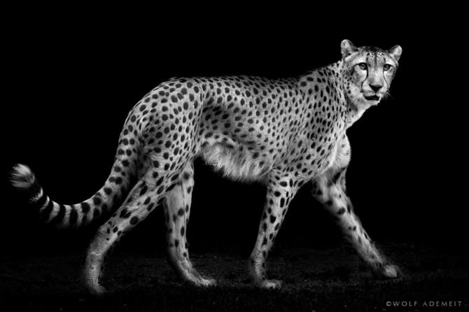 черно белые фото животных Wolf Ademeit 4 (670x446, 86Kb)