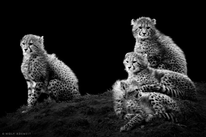 черно белые фото животных Wolf Ademeit 8 (670x446, 107Kb)