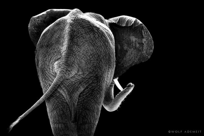 черно белые фото животных Wolf Ademeit 10 (670x446, 91Kb)