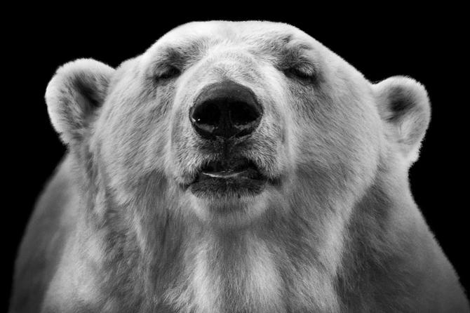 черно белые фото животных Wolf Ademeit 14 (670x446, 127Kb)
