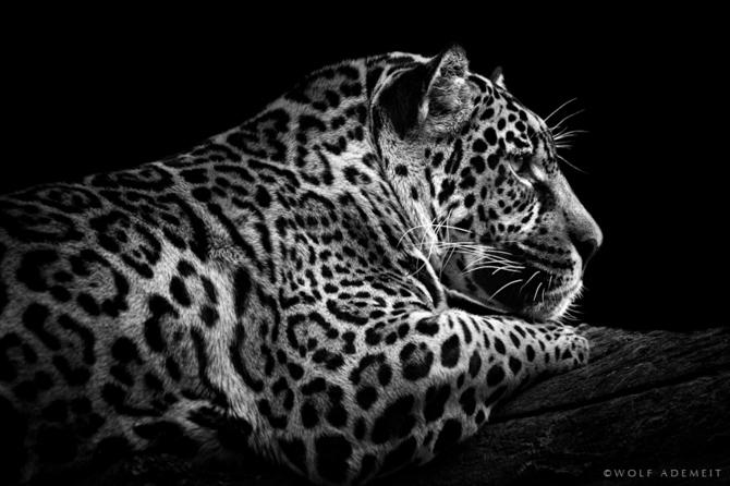 черно белые фото животных Wolf Ademeit 18 (670x446, 125Kb)