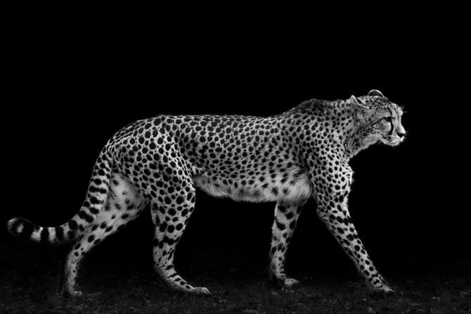 черно белые фото животных Wolf Ademeit 22 (670x446, 50Kb)