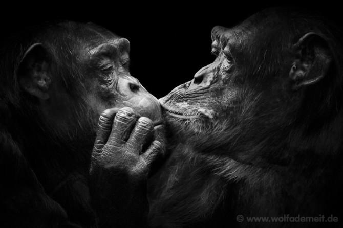 черно белые фото животных Wolf Ademeit 24 (670x446, 53Kb)