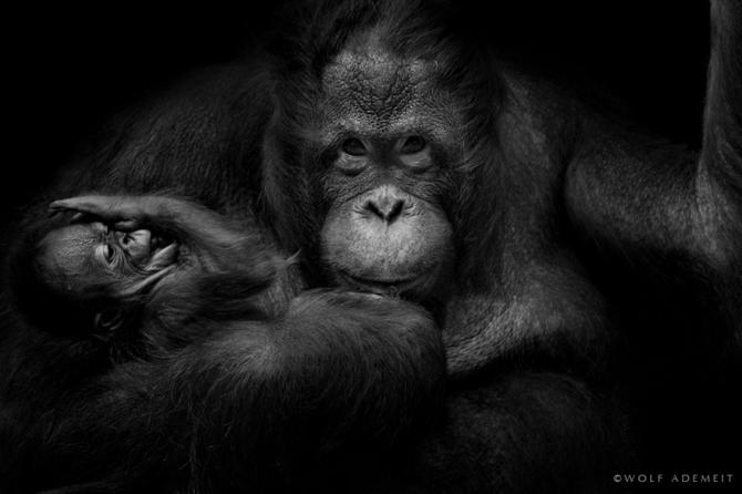 черно белые фото животных Wolf Ademeit 26 (670x446, 107Kb)