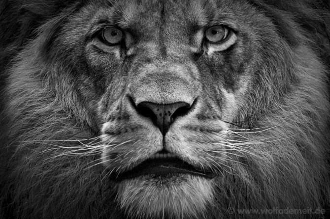 черно белые фото животных Wolf Ademeit 27 (670x446, 108Kb)