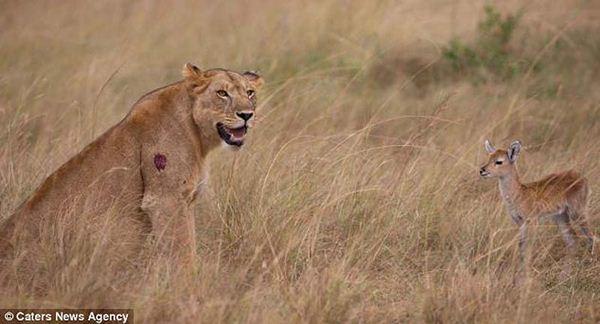 lioness2 (600x324, 34Kb)