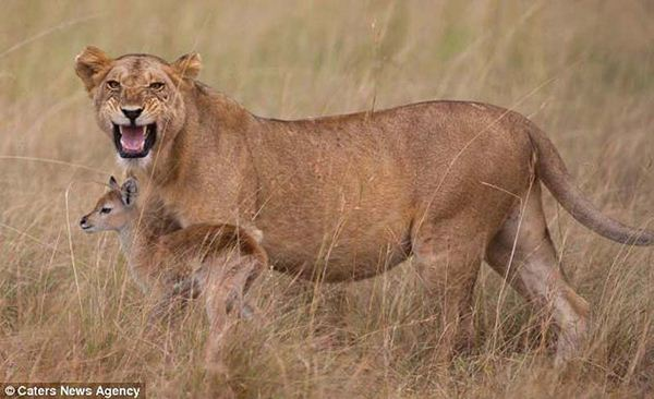 lioness8 (600x366, 40Kb)