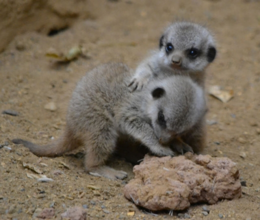the_most_adorable_baby_meerkat_photos_ever_put_online_640_10-thumb (520x439, 146Kb)