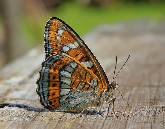 бабочка (700x549, 127Kb)