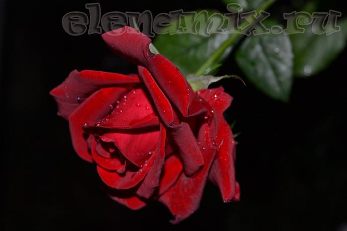 роза/4348076_roza (700x466, 84Kb)