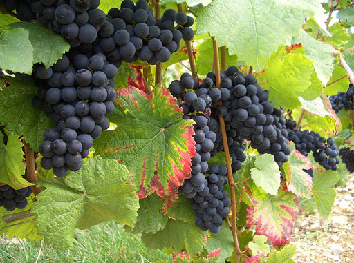 Гроздья-винограда (512x381, 140Kb)