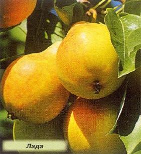 Выращивание груши в суровых климатич…