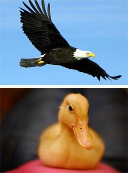 eagle-duck (250x339, 40Kb)