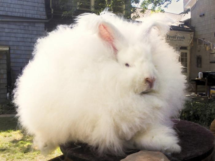 ангорские кролики фото (700x525, 224Kb)