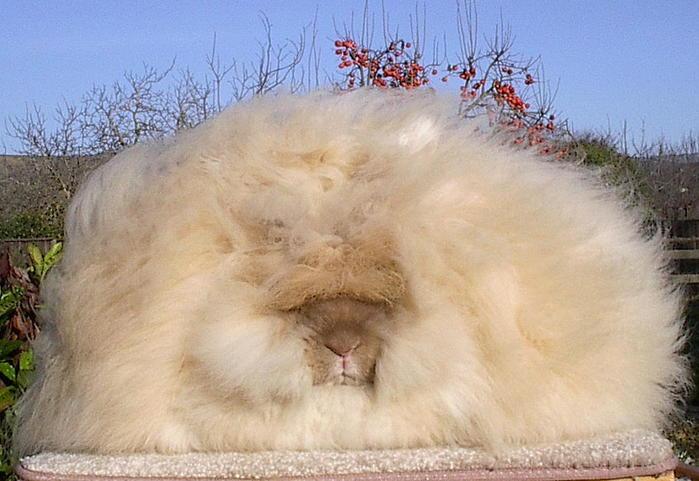 ангорские кролики фото 2 (700x481, 55Kb)