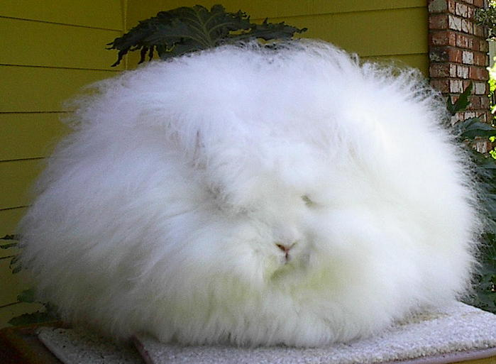 ангорские кролики фото 3 (700x513, 45Kb)