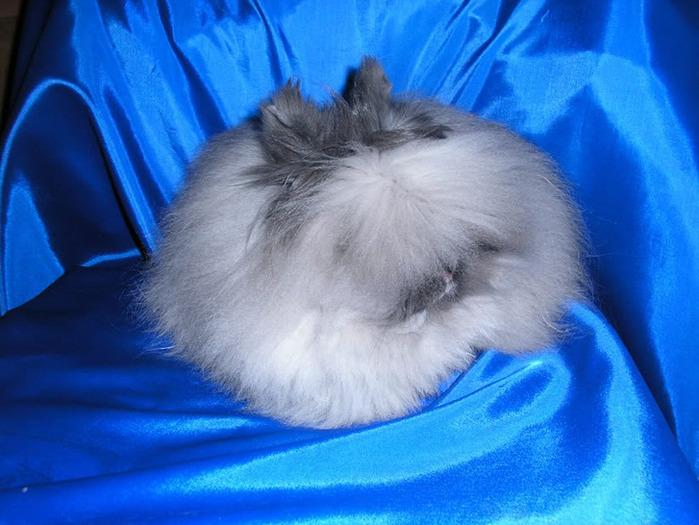 ангорские кролики фото 5 (700x525, 125Kb)