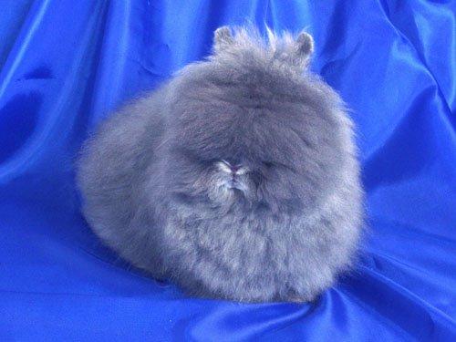 ангорские кролики фото 8 (500x375, 33Kb)