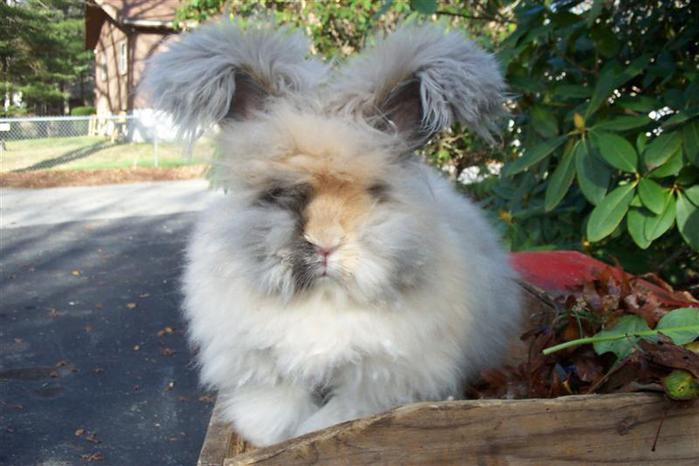 ангорские кролики фото 10 (700x466, 48Kb)