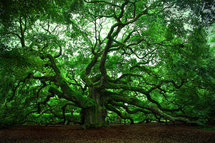 3925073_angel_oak (700x465, 299Kb)