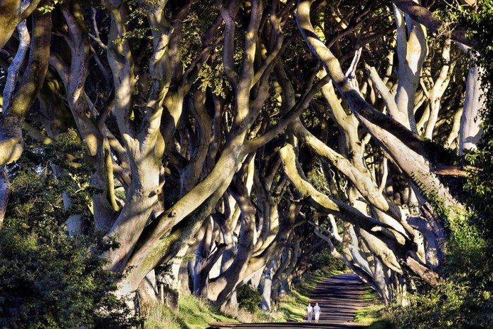 8-dark_hedges (700x467, 151Kb)