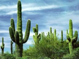 kaktus (259x194, 10Kb)