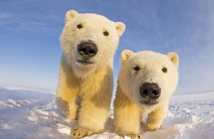 белые медведи фото (700x455, 102Kb)
