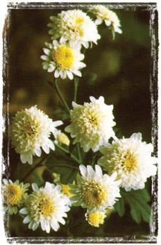814-chrysanthemum (232x353, 36Kb)