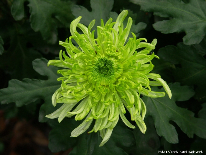 Amazing-Green-Chrysanthemum-flower-never-seen-before- (700x525, 268Kb)