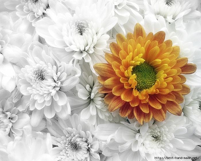 Chrysanthemum-1280x1024-Wallpaper (700x560, 280Kb)