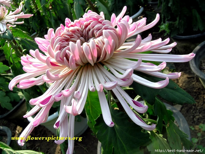 chrysanthemum_22 (661x496, 250Kb)