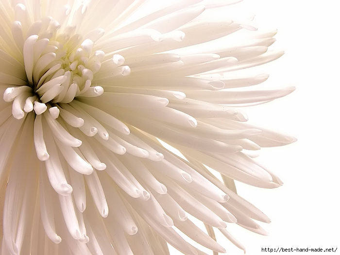 chrysanthemum-bsp (700x525, 194Kb)