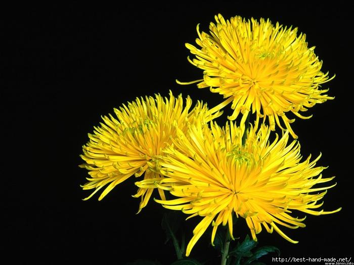 chrysanthemum-shamrock (700x525, 261Kb)
