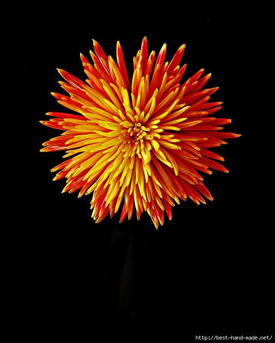 Firework-Chrysanthemum-800 (560x700, 157Kb)