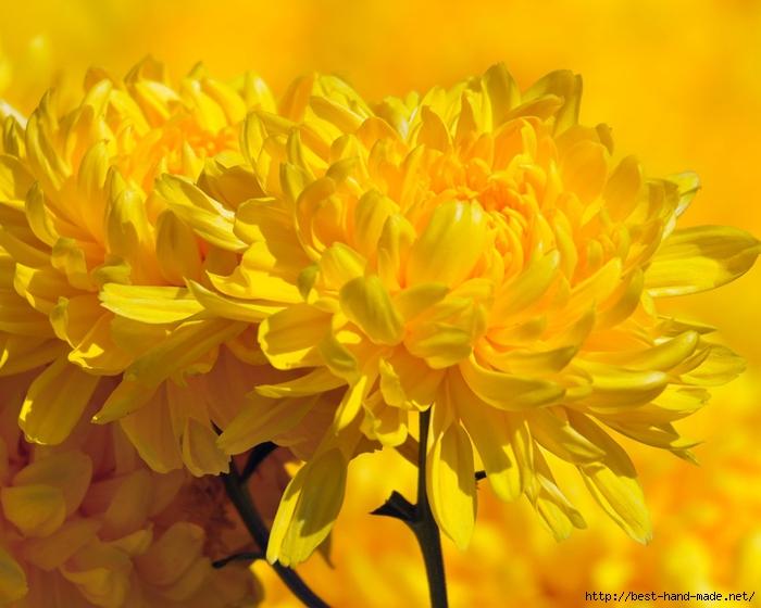 image-wallpaper-1280-1024-Crimea-Chrysanthemum-of-the-Nikitsky-Botanical-Garden-Crimean-Ni344935 (700x560, 253Kb)