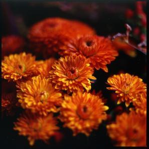 potopoto-hasselblad-chrysanthemum (297x297, 15Kb)