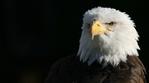 Превью Eagle (6) (700x388, 146Kb)